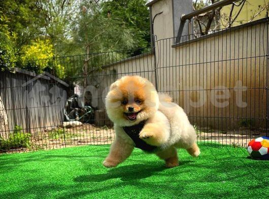 Kızıl renkte En Güzelinden Pomeranian Boo yavrumuz