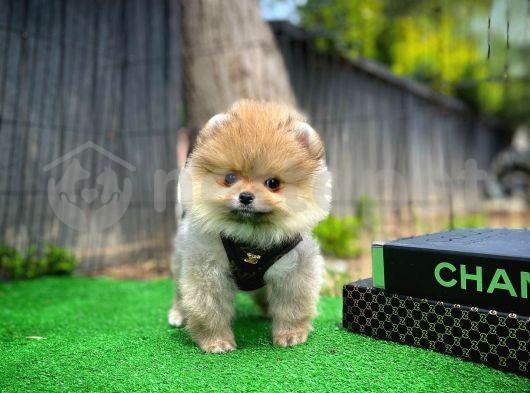 Tcup yavru Çok sevimli Pomeranian Boo