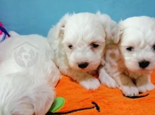 Irk ve Sağlık Garantili Maltese Terrier Yavrular