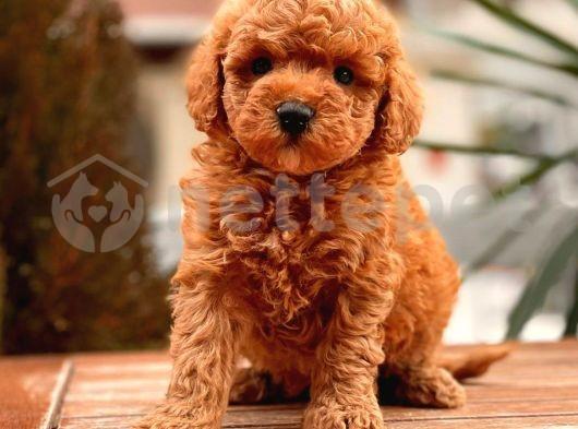 Toy Poodle Yavrular ( red,redbrown,silver,siyah,apricot)