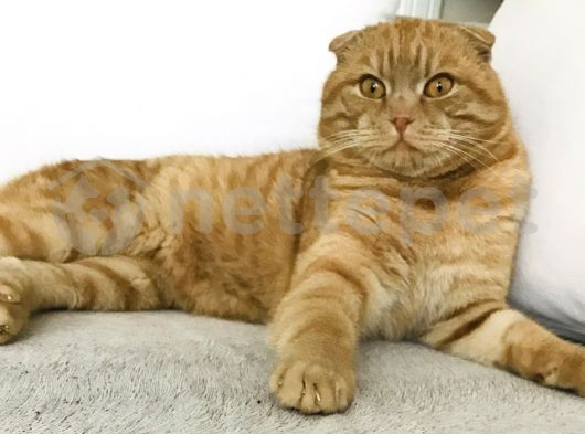 ERKEK-RED TABBY SCOTTISH