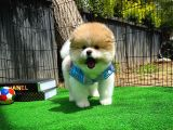 En iyi kalite tcup Pomeranian Boo
