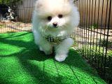 Çok tüylü Karneli Beyaz Pomeranian Boo