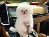 Yavru Patiler'den kusursuz pomeranian köpek
