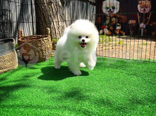 Irk ve Saglık Garantılı Secereli Pomeranian Boo yavrumuz
