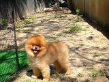 Kızıl renkte Yetişkin Pomeranian Boo