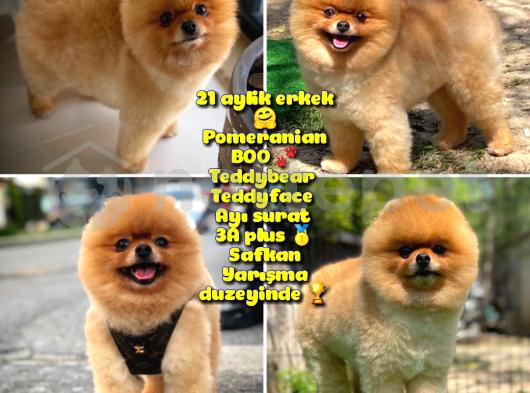 Büyümeyen ırk süs köpeği Gülen Ayı surat Teddybear Pomeranian BOO Oğlumuz Tombi