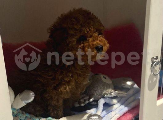 Secereli Anne Babadan Toy Poodle Yavruları