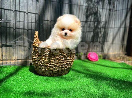 Ailenize Enerji Moral Pomeranian Boo yavrumuz