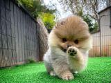 Sıfır Numara Safkan PomeranianBoo Oğlumuz