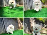 En Tatlısından Bembeyaz Pomeranian Boo yavrumuz