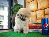 MiniBoy Orijinal Renk PomeranianBoo Oğlumuz