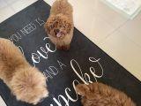 7 aylık secereli 2,5 kg erkek red mini toy poodle