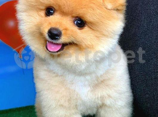 Sevimli ve Sempatik Pomeranian Boo Oğlumuz MARİO