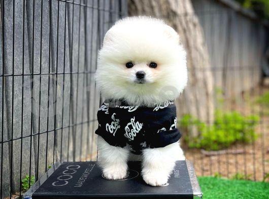 En iyi kalite Beyaz Pomeranian Boo