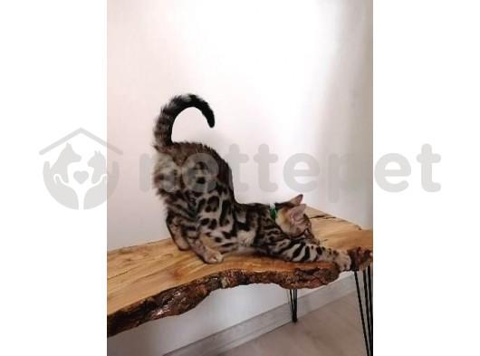 2 buçuk aylık erkek bengal kedisi