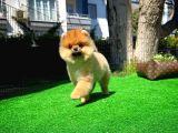 Turuncu Pomeranian Boo yavrumuz