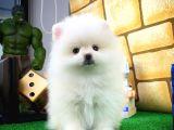 Minik Paticik Pomeranian Boo yavru