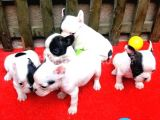 french bulldog yavrularımız erkek dişi mevcuttur