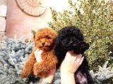 Red brown toy poodle yavrularımız anne baba mini toy