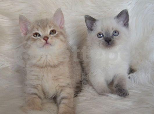 Bursa Point Lilac Cream Dişi Erkek Yavrularımız