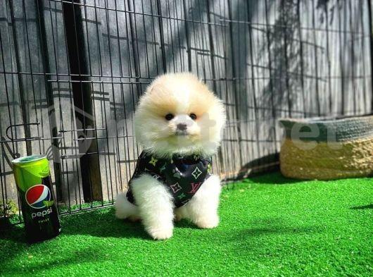 Sıfır Burun TeddyFace Oyuncu PomeranianBoo Oğlumuz