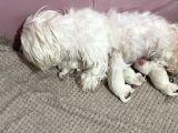 Yeni Doğmuş maltese terrier