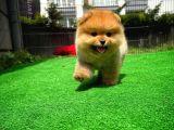 Irk ve Sağlık Garantili MiniBoy PomeranianBoo Oğlumuz
