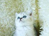 silver british shorthair full secereli yavrumuz