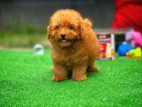 Mini 2 kg Dişi En Güzelinden Red Toy Poodle