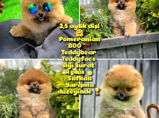 Güzel ötesi Safkan Ayı surat Teddybear Boo Pomeranian Kızımız Winy @yavrupatiler
