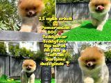 Orjinal renk ve sınıf Boo Pomeranian A plus oğlumuz Pooh @yavrupatiler