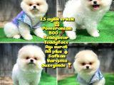 Orjinal Ayı surat Teddybear Boo Pomeranian oğlumuz Manga @yavrupatiler