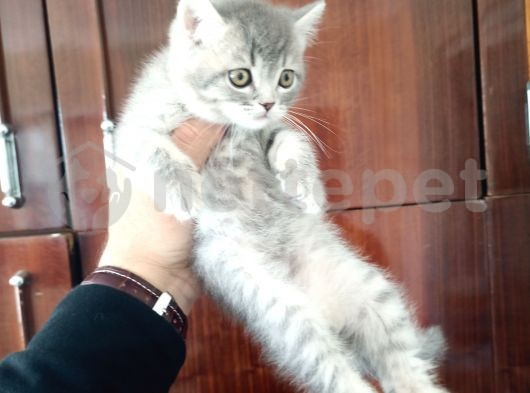 british shorthair  silver tabby