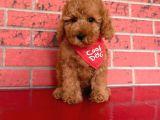 Toypoodle Red Mini Erkek Yavrumuz