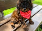 TOY POODLE PHANTOM