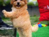 En Güzel yüz yapısına sahip Toy Poodle