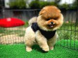 Orijinal TeddyFace 3 Aylık Pomeranianboo Oğlumuz