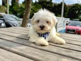 Mini Boy Maltese Yavrular