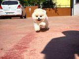 Yıldız Pomeranian Boo Kızımız