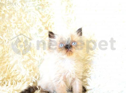 blue point chinchilla yakışıklı yavrularımız