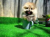 En Çok Sevilen 2.5 Aylık Teacup Boy PomeranianBoo Kızımız