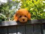 Çok Tatlı Zeki Enerjik Toy Poodle yavrumuz