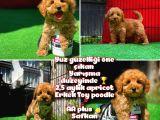 Yarışma Adayı nadir Apricot Safkan Toy poodle oğlumuz@yavrupatiler