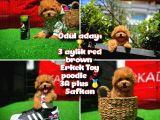 Taçsız kral ödül adayı Safkan orjinal renk Red Brown Toy poodle oğlumuz @yavrupatiler
