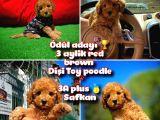 Ödül adayı Safkan Orjinal renk Red Brown Toy poodle @yavrupatiler kızımız