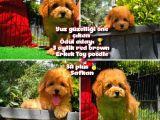 Orjinal renk Red Brown Toy poodle oğlumuz @yavrupatiler