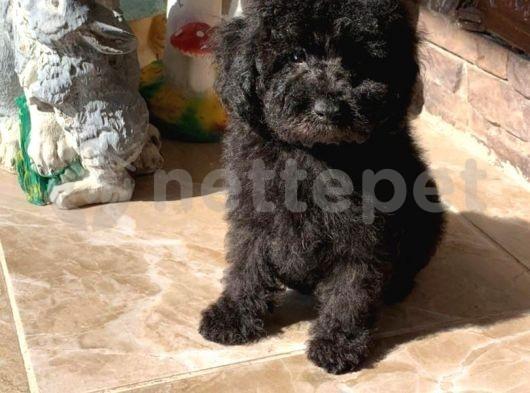Siyah mini toy poodle yavrularımız ırk ve sağlık garantili