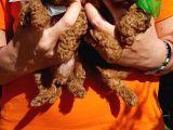 Red brown a kalite basık burunlu toy poodle
