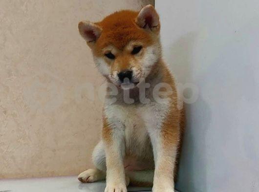 Shiba -inu dünyanın en sevimli köpeği ırk ve sağlık garantili